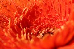 Gerbera arancione Fotografia Stock