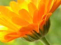 Gerbera arancione Fotografia Stock Libera da Diritti