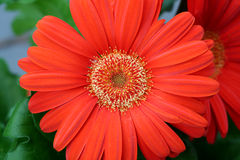 Gerbera arancione Immagine Stock