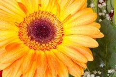 Gerbera arancione con le gocce di rugiada Fotografia Stock