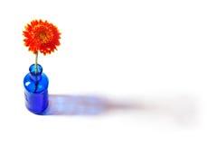 Gerbera arancione in vaso blu su priorità bassa bianca Immagine Stock