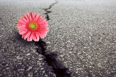 Gerbera on Asphalt Stock Images