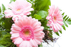 Gerbera Asteraceae. Three gerbera, nosegay isolated on white background Stock Photography