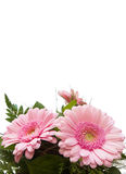 Gerbera Asteraceae. Three gerbera, nosegay isolated on white background with copy space Royalty Free Stock Images