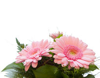 Gerbera Asteraceae. Three gerbera, nosegay isolated on white background with copy space Royalty Free Stock Photography