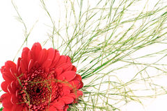 Gerbera with baby's breath. Red blossom of gerbera with baby's breath Stock Image