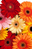 Gerbera background Royalty Free Stock Photo