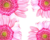 Gerbera background. Gerbera flowers set in the corners of the image Stock Photos