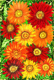 Gerbera. Background from gerbera flowers of red, orange and yellow colours on green leaves, hand painted picture, watercolours. Size of original 29,5 x 20,5 sm royalty free stock images
