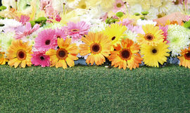 Gerbera backgrounds. Flower combination color is backgrounds Stock Photo