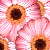 Beautiful bright pink gerbera flowers Royalty Free Stock Photos