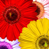 Beautiful bright red, purple, yellow and pink gerb. Era flowers Stock Photo