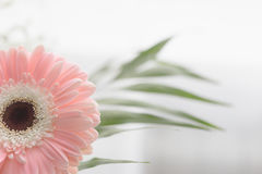 Gerbera beautiful flowers on a white background. Stock Image