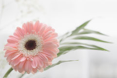 Gerbera beautiful flowers on a white background. Royalty Free Stock Photo
