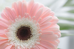 Gerbera beautiful flowers on a white background. Stock Photo