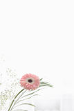 Gerbera beautiful flowers on a white background. Stock Photos