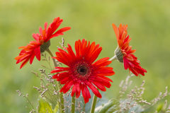Gerbera. Beautiful plant. Very nice bokeh in the field. Lily red Stock Photo