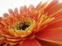gerbera flower detail background Stock Image