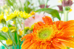 Gerbera Beauty Royalty Free Stock Photo