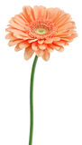 Gerbera beige Photos stock