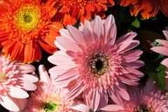 Gerbera bezszwowy deseniowy kwiecisty tło Obrazy Royalty Free