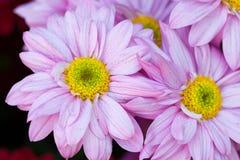 Gerbera bezszwowy deseniowy kwiecisty tło Fotografia Royalty Free