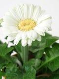 Gerbera bianco fotografie stock