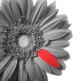 Gerbera in bianco e nero con il petalo rosso Fotografie Stock Libere da Diritti