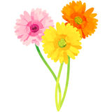 Gerbera - birth flower vector illustration in watercolor paint  Stock Images
