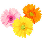 Gerbera - birth flower vector illustration in watercolor paint  Royalty Free Stock Image