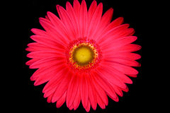 Gerbera on black. A pink gerbera flower isolate on a dark background Stock Photo
