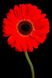 Gerbera on black. Vivid red gerbera isolated on a black background Stock Photography