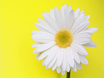 Gerbera blanc Photographie stock libre de droits