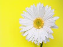Gerbera blanco Fotografía de archivo libre de regalías