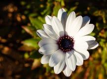 Gerbera blanco Foto de archivo libre de regalías