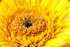 Gerbera blossom Stock Image