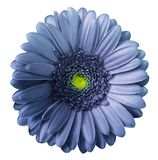 Gerbera blue-violet flower on white isolated background with clipping path. no shadows. Closeup. stock photos