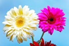 Gerbera-Blume Stockbilder