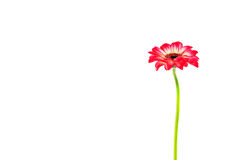 Gerbera-Blume stockfoto
