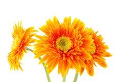 Gerbera-Blumen Lizenzfreies Stockfoto