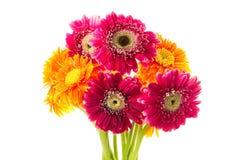 Gerbera-Blumen Lizenzfreie Stockfotos
