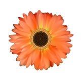 Gerbera-Blumen-Weiß-Hintergrund Stockbild