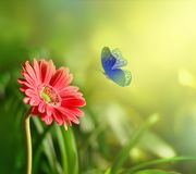Gerbera with blur shiny background and butterfly. Nature background.  stock images