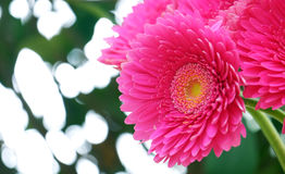 Gerbera on a blurred background Stock Photo