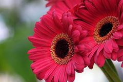 Gerbera on a blurred background Stock Photography