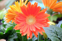 Gerbera on a blurred background Royalty Free Stock Images
