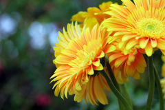 Gerbera on a blurred background Stock Image