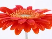 Gerbera bonito Foto de Stock Royalty Free