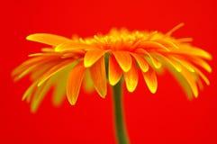 Gerbera bonito Fotografia de Stock