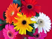 Gerbera bouquet. Vibrant and colorful background of gerbera flowers Stock Photos